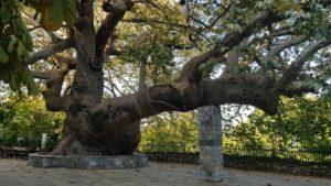 In Tsangarada steht eine beeindruckend alte, gewaltige Platane auf dem Dorfplatz
